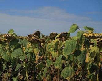 Стан поля на кінець вегетації після застосування Проману® 600 SC, КС
