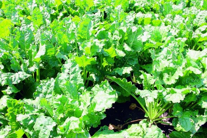 КОНВІЗО® 1 знищує бур'яни у посівах цукрових буряків за два внесення (по 0,5 л/га)
