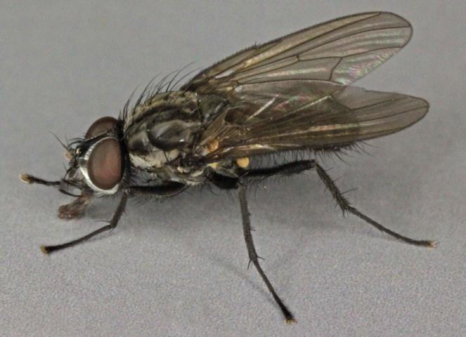 Капустяна муха