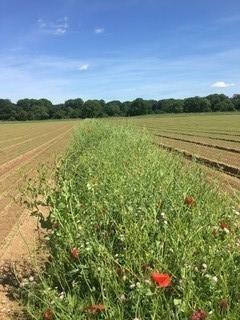 Смуга, засіяна дикими квітами, в полі органічної моркви