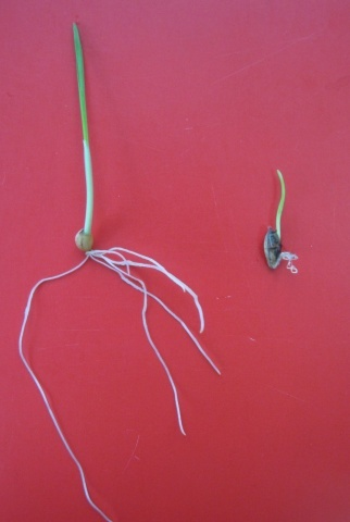 Проростання насіння ячменю:  здорового (ліворуч) та ураженого Drechslera graminea (праворуч)