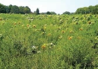 І таким буває поле соняшнику, якщо вчасно не знищити амброзію