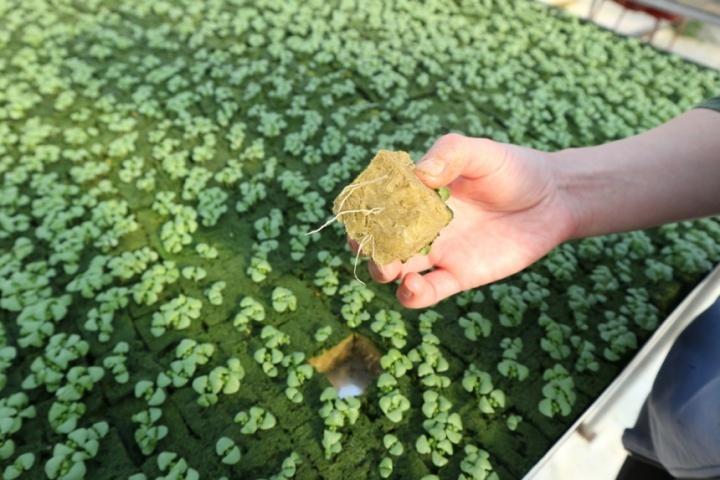 """вот в таких минераловатных """"кубиках"""" проращивают салат"""