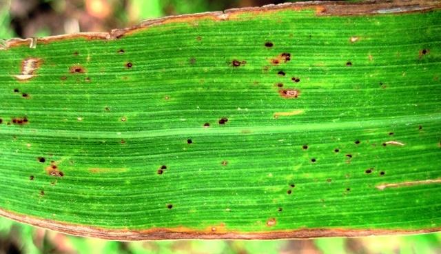 Признаки ржавчины на листьях кукурузы
