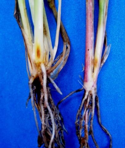 Коренева гниль ячменю: початок її розвитку під час кущення рослин