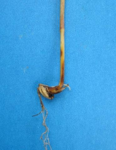 Коренева гниль ячменю: симптоми хвороби на молодій рослині