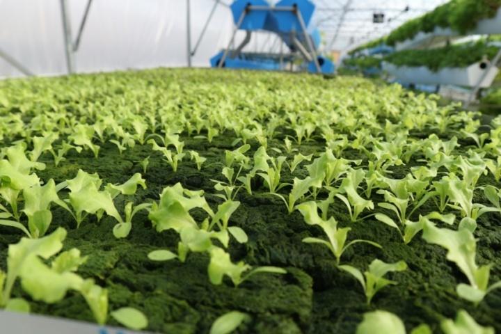 проращивание салата
