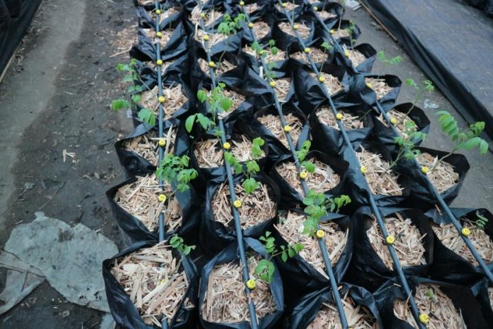 Вирощування саджанців горіха в теплиці