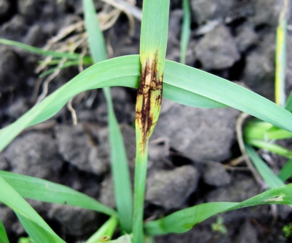 Симптоми сітчастої плямистості на молодих рослинах ячменю ярого