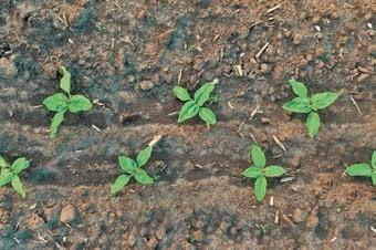 Фото 6. Дуже хороший ефект за висівання соняшнику в смуги обробленого ґрунту дає використання сівалок точного висіву з функцією сівби в здвоєний рядок (twin-row). Але слід розуміти, що в такому разі слід купувати тільки відкаліброване насіння соняшнику (однієї фракції й однакового розміру). Тільки в такий спосіб окупляться інвестиції в цю сівалку