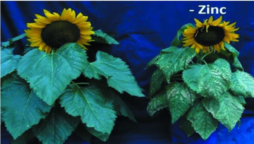 Симптомы недостатка цинка на растениях подсолнечника в период цветения культуры