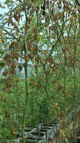 помідори-мікрочері