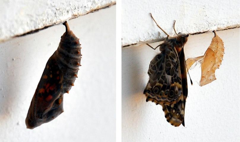 вихід метелика