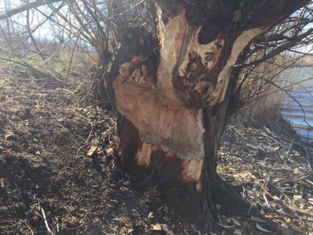 """На Херсонщині є і бобри. Як написав у своєму профілі на Facebook Йохан Боден, він уперше побачив """"роботу"""" бобрів і зрозумів, що вони не пошкоджують дерева, а рятують місцевість від разліовов Дніпра"""