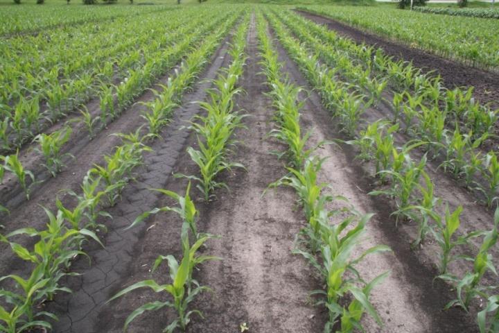 Всходы кукурузы, кукурузное поле