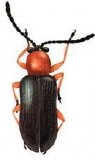 жук п'явиці червоногрудої