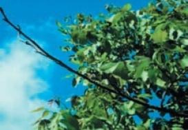 бактеріальний опік плодових на горіху