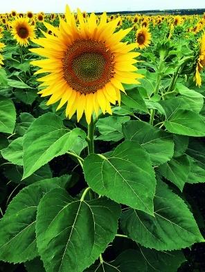 Рослини соняшнику на 14-й день після обробки препаратом Балій