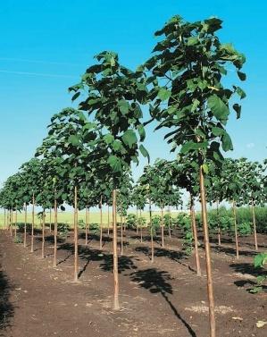 Після зрізування дерев рослина знову регенерує з того самого кореня