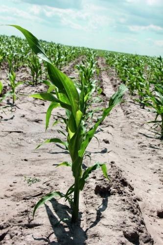 У період 9–10 листків — викидання волоті, відмічено підвищену потребу рослин у споживанні азоту
