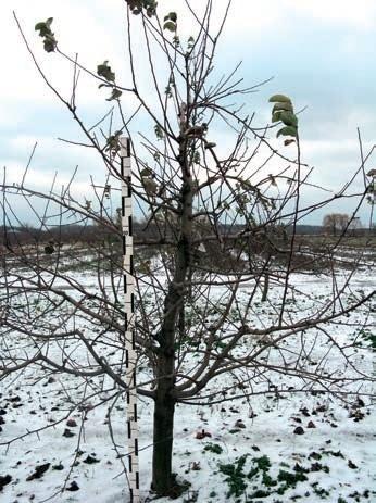 Дерево Амулета на підщепі 54–118