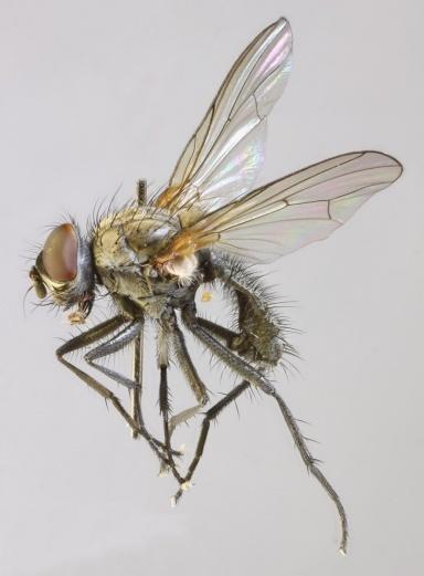 малинова муха