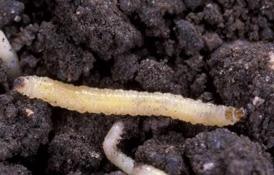 Щойно відроджена личинка західного кукурудзяного жука