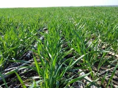 """Вирощування пшениці за технологією """"ноу-тілл"""""""