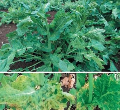 Мозаїчні симптоми на рослинах ріпаку, індуковані вірусом мозаїки турнепсу