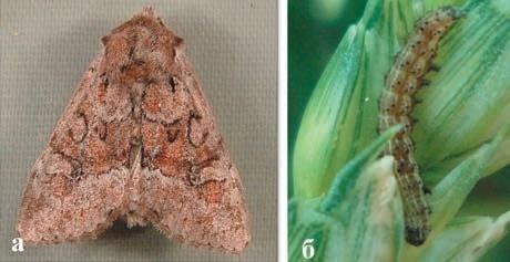 Рис. 5. Зернова совка: а — імаго, б — гусениця