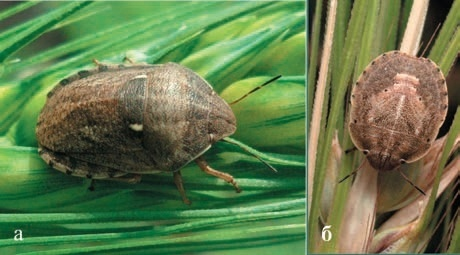 Рис. 1. Клоп шкідлива черепашка: а — імаго, б — личинка