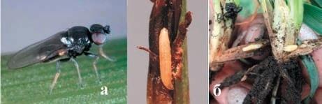 Рис. 4. Шведські мухи: а — імаго, б — личинка