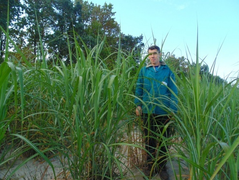 Міскантус наприкінці першого сезону вегетації