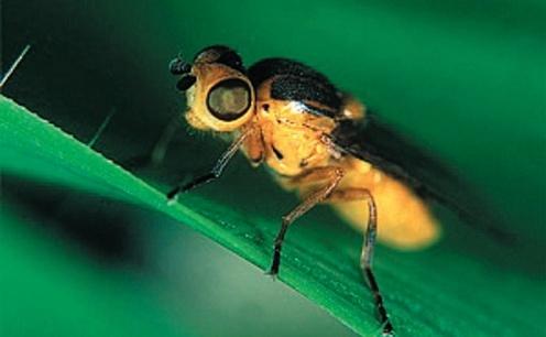 Злакова муха