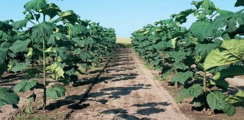 Paulownia Clone in Vitro 112® — єдиний сорт, який внесений до Реєстру сортів рослин в Україні