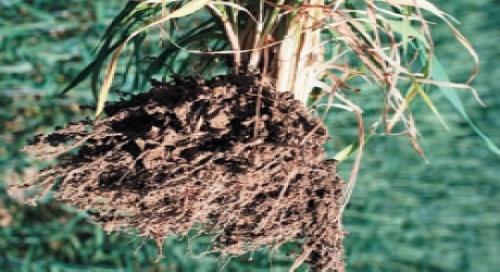 Позакореневе підживлення озимих культур покращує розвиток кореневої системи