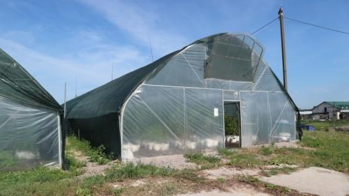 Теплиці, в яких дорощували саджанці лохини, а тепер відвели під овочі