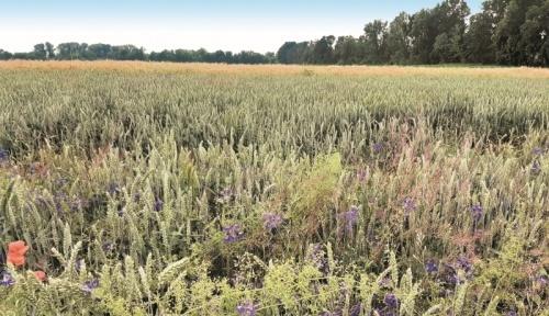 Фото 4 (на передньому плані — контроль без обробки, за ним — посіви, оброблені Дербі)