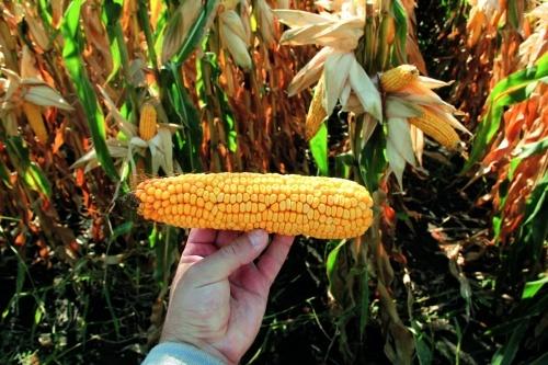 Хаотичне розміщення рядів у качані — ознака стресу кукурудзи від підвищених температур
