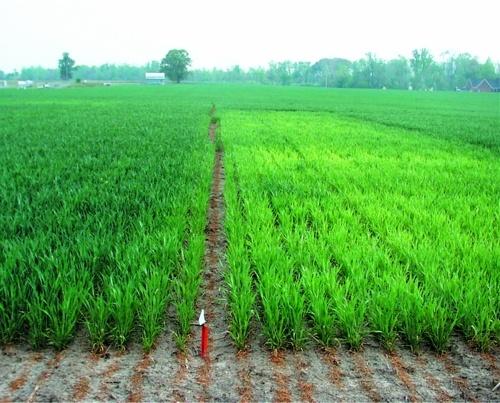 Прояв нестачі сірки на пшениці — ділянка праворуч (фото R. Weisz)