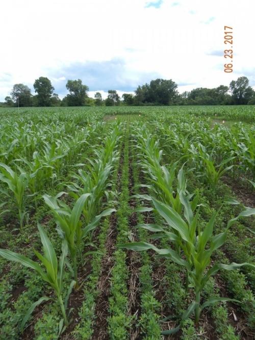 покривні культури в посівах кукурудзи