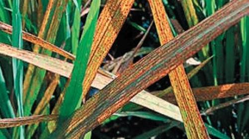 За нестачі цинку в ранні фази онтогенезу рослини гальмуються в рості й розвитку