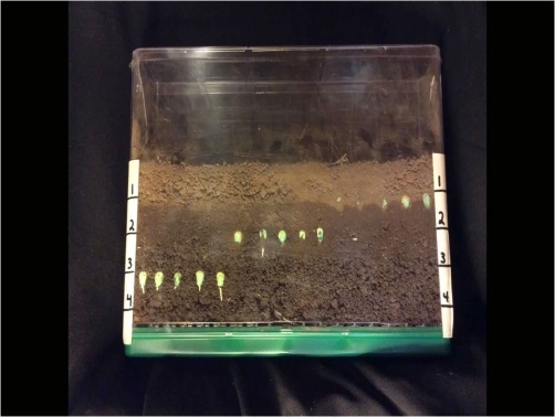 проростання насіння кукурудзи, висіяного на різну глибину