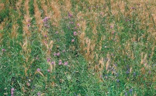 Якщо насіння зимуючих видів бур'янів проросло навесні, то такі рослини розвиваються як ярі