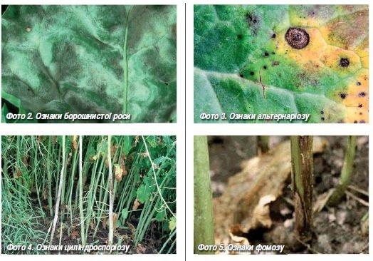 Хвороби ріпаку: вірусні та бактеріальні, способи їх обмеження ...
