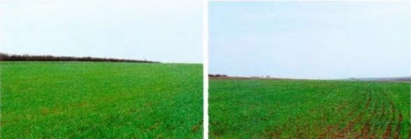 Поле с внесением рекультиватов (слева) и без (справа)