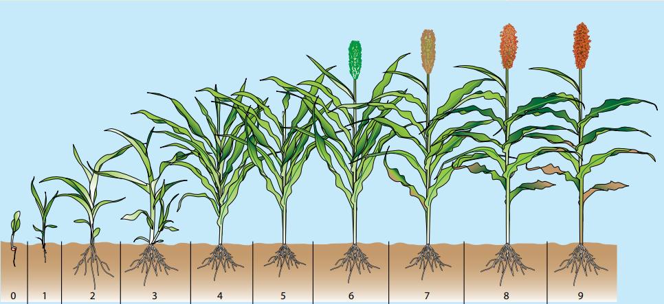Советы по посеву и выращиванию зернового сорго