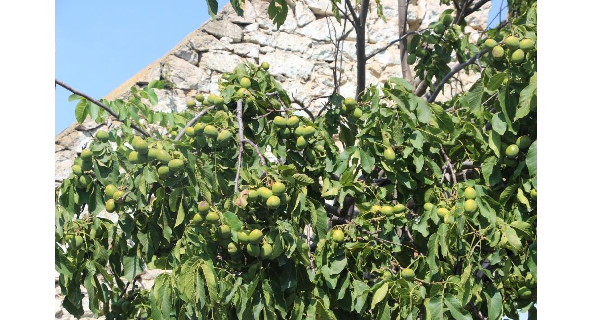 Посадка грецкого ореха идеал схема посадки