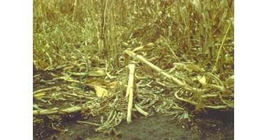 Болезни корней, болезни стебля кукурузы — Пропозиция