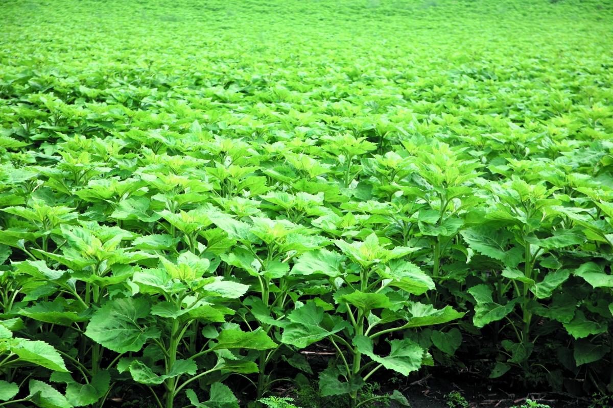 Оптимізація живлення сіркою покращує засвоєння рослинами азоту, збільшує вміст олії та підвищує врожай соняшнику